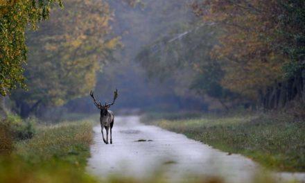 Vigyázzanak a Kisorosziba vezető úton – beindult a dámbikák párzási időszaka