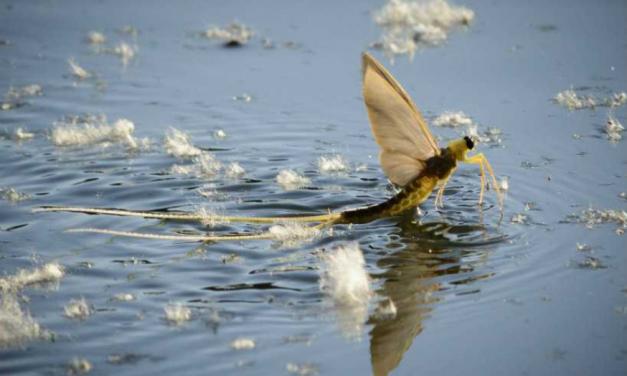 Virágzik a Duna, násztáncot járnak a kérészek
