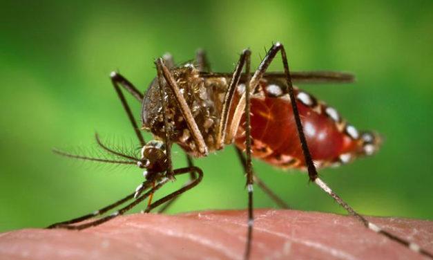 Milyen jövő vár a nőstényszúnyogokra Kisorosziban?
